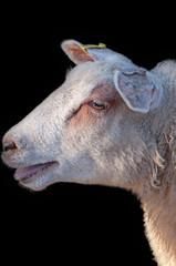 Sheep calling