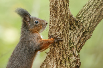 Red squirrel on green background climbing a tree