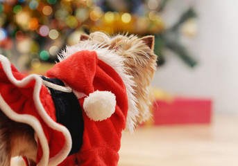 toy terrier in Santa clothes looking on magic of Christmas tree