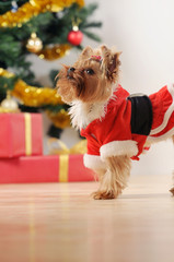 toy terrier in Santa clothes looking up on Christmas tree backgr