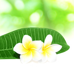 blooming frangipani