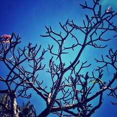 Silhouettes of tree with flowers on blue sky
