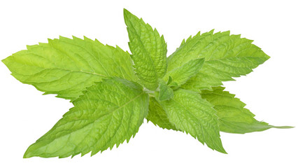 A sprig of leaf mint