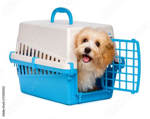 Fotobehang Dragen Cute happy havanese puppy dog is looking out from a pet crate