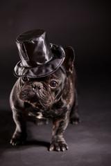 elegant french bulldog