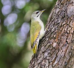 Grey-headed Woodpecker