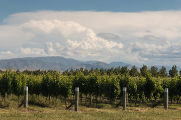 vineyards near Blenheim in New Zealand