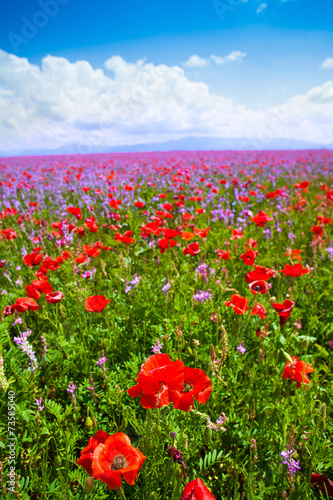 Plakat Red poppy flowers and purple ones
