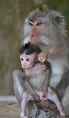 Bali macaques, Bali, Indonesia