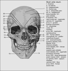 human skulh