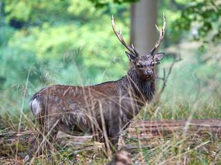 Sika Deer (cervus nippon)