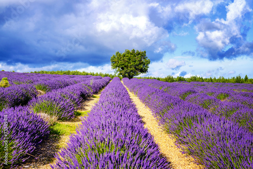 Naklejka dekoracyjna LAVENDER IN SOUTH OF FRANCE