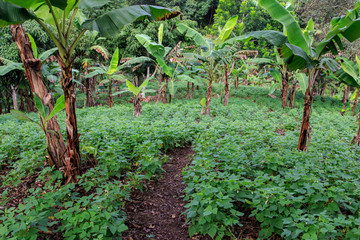 black bean field from plantation with banana trees, Nicaragua