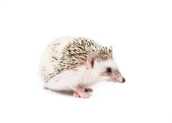 Pet Pygmy Hedgehog