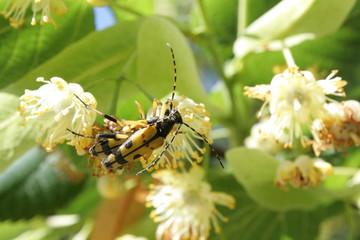 Lepture tacheté (Rutpela maculata
