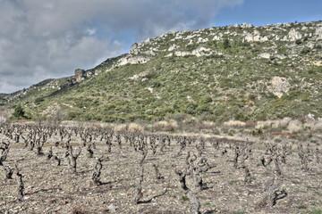 Vigne dans les Corbières,France