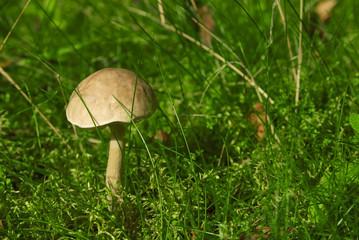 Brown-cap boletus edible mushroom in the forest
