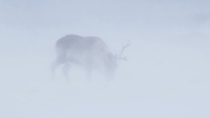 Wild Arctic reindeer in snow blizzard