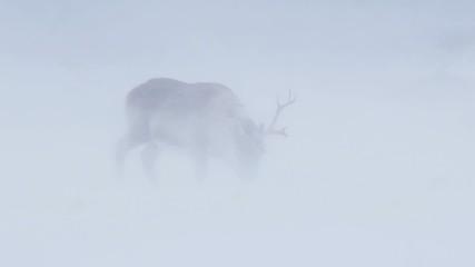 Wild Arctic reindeer in snow blizzard