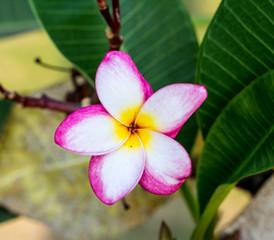 Frangipani flower on tree (Plumeria)