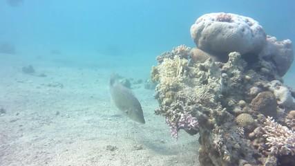 Fish Caranx