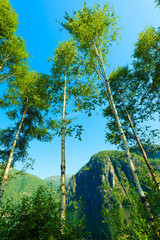 birich trees against the blue sky. Summer scenery