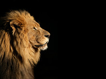 "Постер, картина, фотообои ""Portrait of a big male African lion on black"""