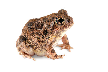 African sand frog (Tomopterna cryptotis) on white