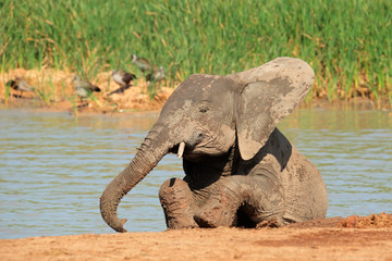 Playful African elephant, Addo Elephant National Park