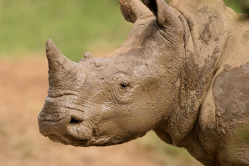Portrait of a white rhinoceros covered in mud