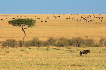 Blue wildebeest and tree, Masai Mara National Reserve