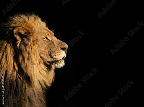 Portrait of a big male African lion on black - 73598008