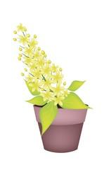 Cassia Fistula Flower in A Ceramic Pot