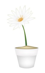 White Lotus Flower in A Ceramic Pot