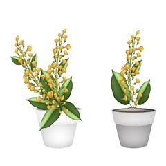 Yellow Padauk Flower in A Ceramic Pot
