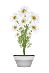 Lovely White Daisy in Ceramic Flower Pot