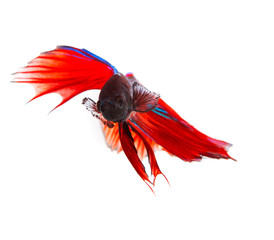 close up face of red thai betta fighting fish with full beautifu