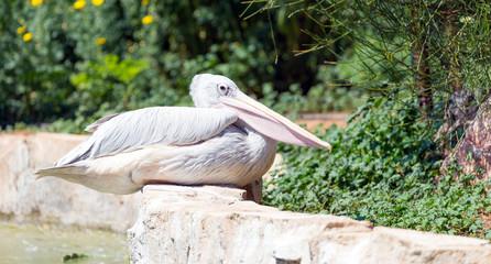 Pink-Backed Pelican (Pelecanus rufescens) in a park