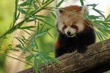 panda roux femelle