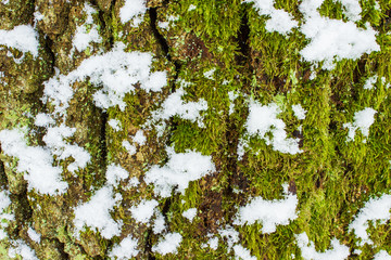 texture of the moss on the bark of a tree with snow in winter