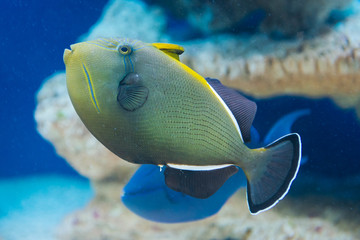 Melichthys indicus - Indian triggerfish