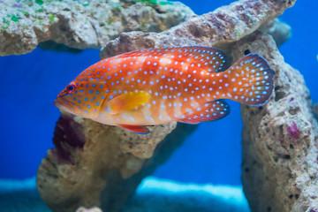 Cephalopholis miniata - Coral hind