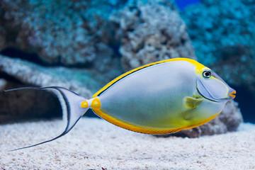 Naso lituratus - barcheek unicornfish