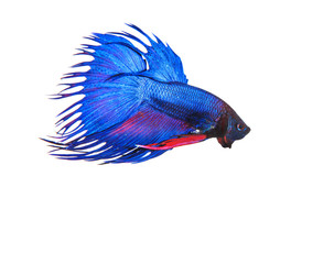blue crown tail thai fighing fish betta prepare to fight isolate