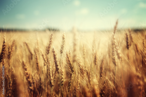 Foto op Plexiglas Cultuur golden wheat field and sunny day