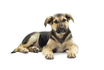 mongrel puppy looks