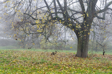 Autumn tree in the fog