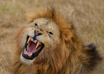 Roaring Lion 3
