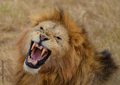Fotobehang Overige Roaring Lion 3