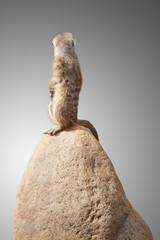 one cute little meerkat